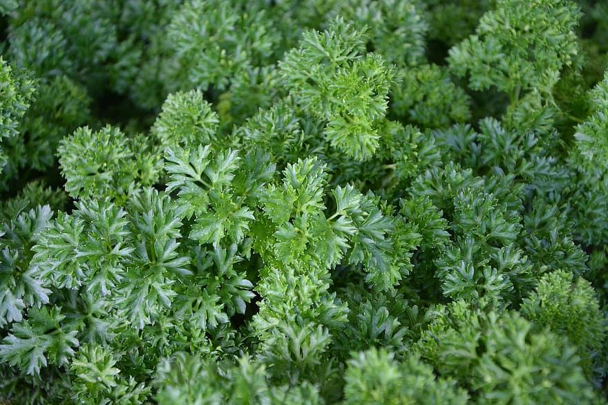 hipertenzija augalų nuotraukos)