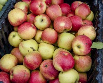 Apie obuolių naudą ir ką su jais daryti, kai jų per daug