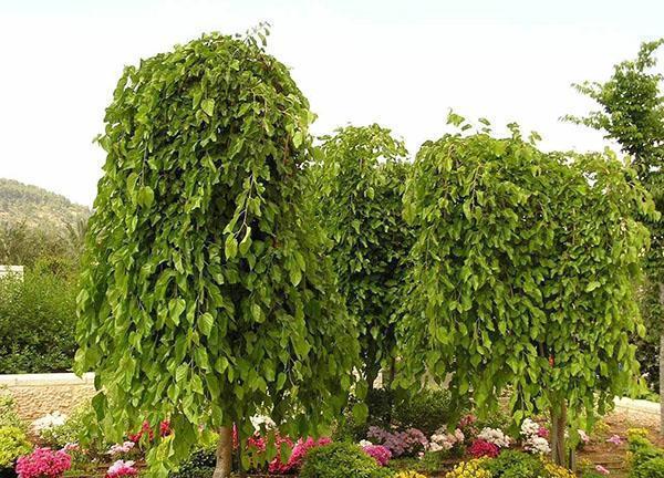 Gyvenimas iš naudingų elementų - šilkmedžio medis