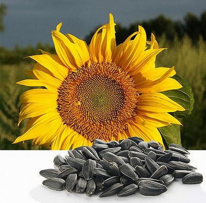 saulėgrąžų sėklos gydant hipertenziją vaisiaus širdies ritmo sveikatos aspektai