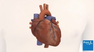 kaip širdis veikia bupa sveikatą)