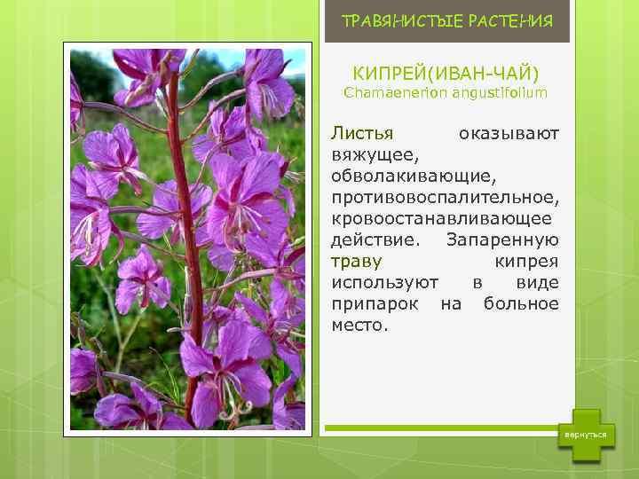 augalų, kurie padeda sergant hipertenzija geriausia priemonė nuo hipertenzijos vyresnio amžiaus žmonėms