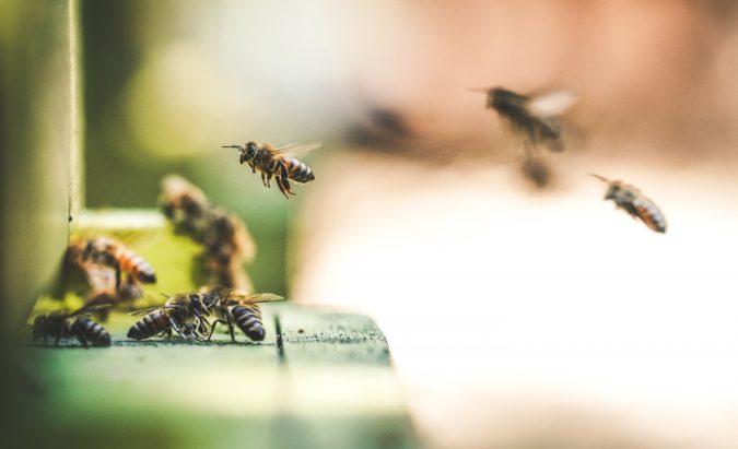 bičių pienelis hipertenzijai gydyti)