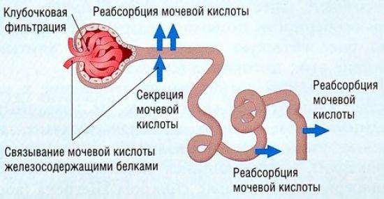 hipertenzija šlapimo rūgštis