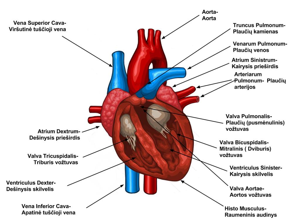hipertenzija su širdies ydomis