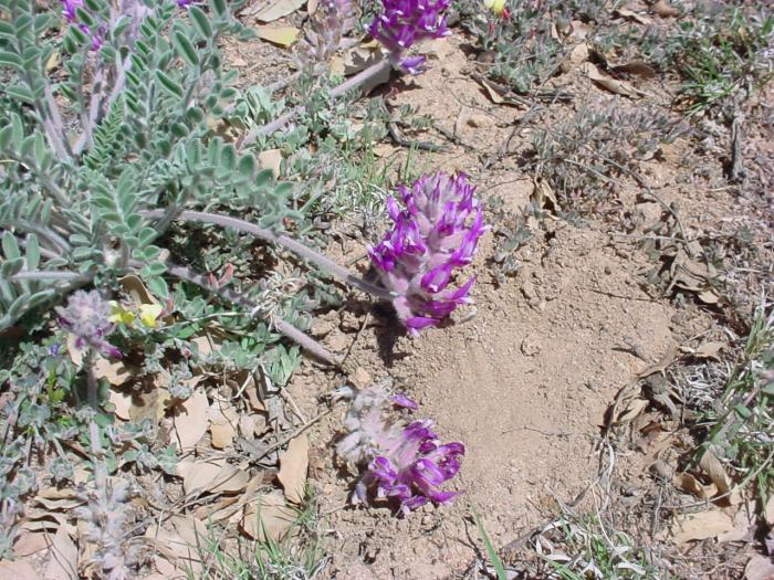 Astragalus žieduotas - Grūdai