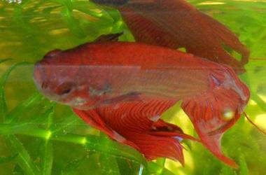 raudona žuvis nuo hipertenzijos