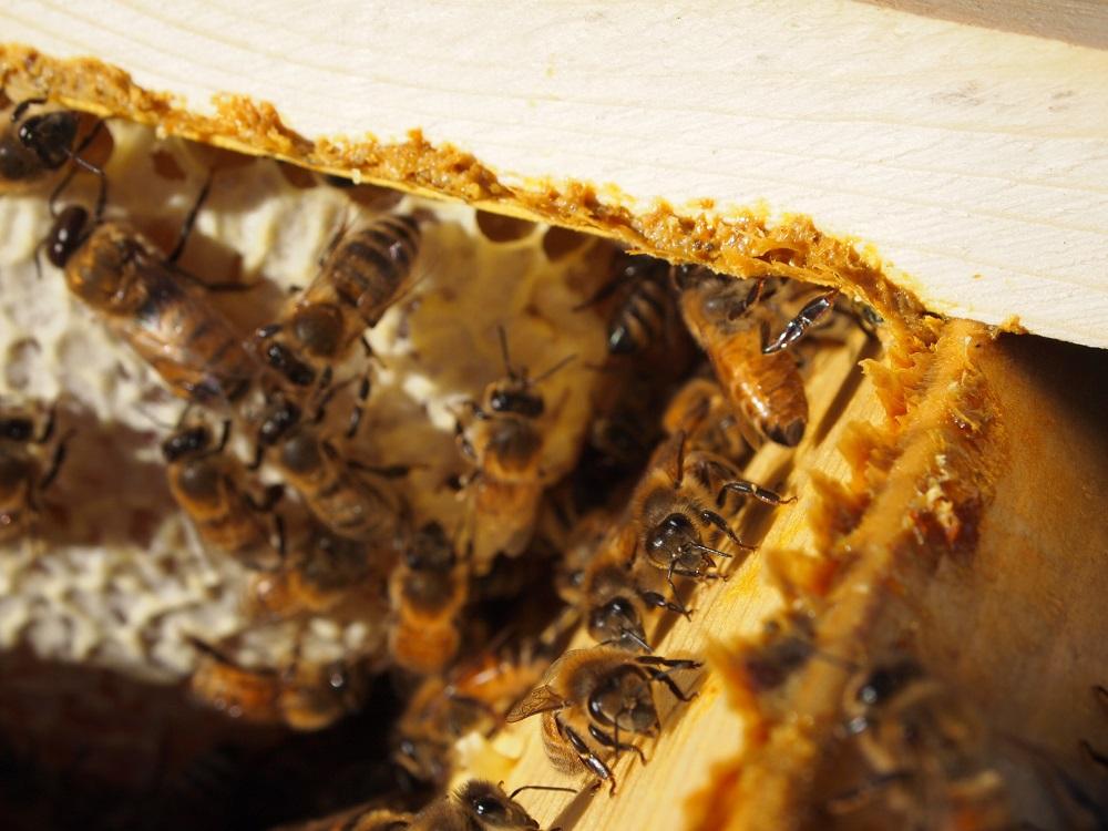 bičių pienelis hipertenzijai gydyti