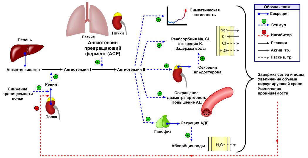1 hipertenzija: vystymosi, diagnozavimo ir gydymo mechanizmas