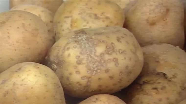 Viena bulvė, dvi bulvės… — vanagaite.lt