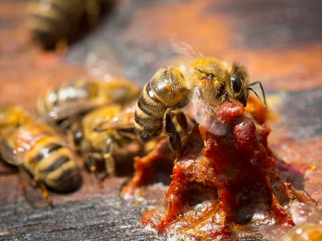 Bičių pikis: kuo naudingas, kaip naudoti (plius bičių pikio užpiltinės receptas) | Medaus namai
