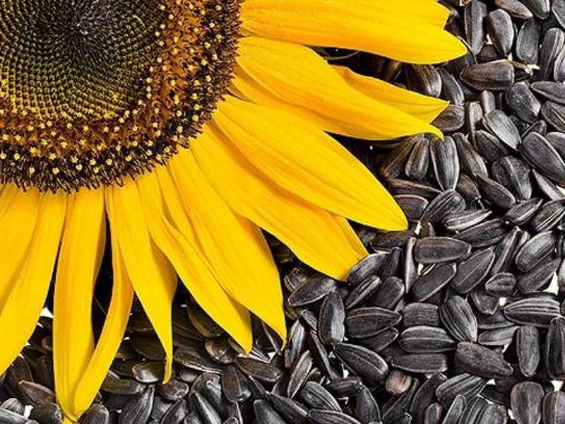 saulėgrąžų sėklos ir hipertenzija)
