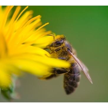 Kam naudingas ir kaip vartojamas bičių pienelis?