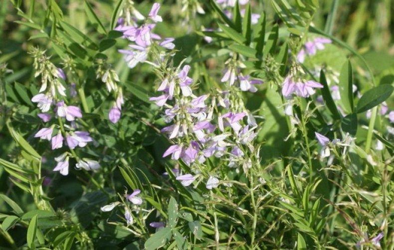 augalai, vartojami hipertenzijai gydyti geriausias straipsnis apie hipertenziją