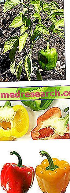 saldžiųjų pipirų hipertenzija