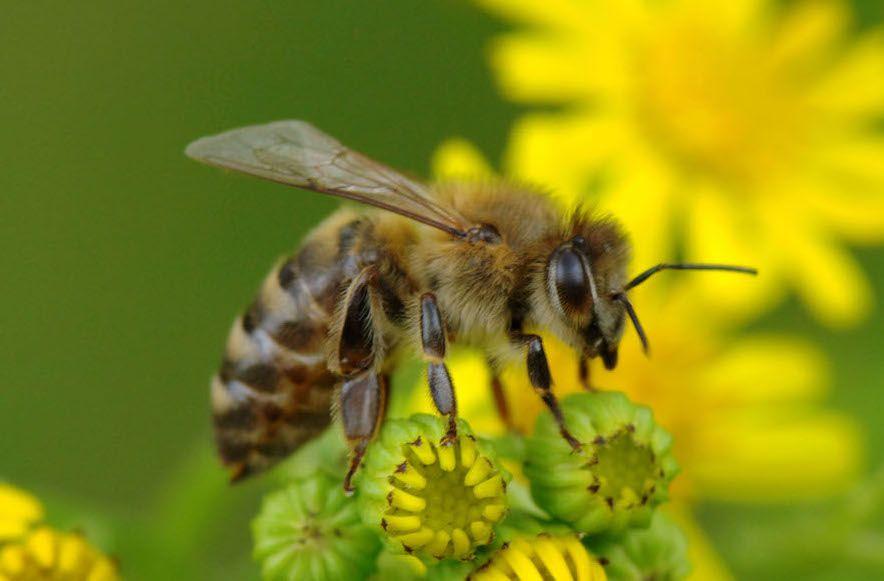 bičių duonos ir žiedadulkių nuo hipertenzijos)